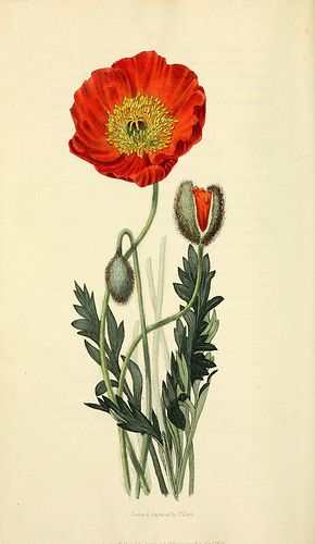 vintage-poppy-n247_w1150-_-flora-conspicua-london-_longman-rees-orme-brown-and-green1826