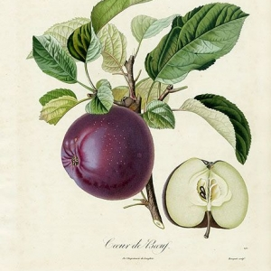 apple-illustration-pomologie-francaise