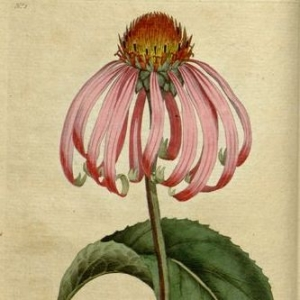 echinacea-18th-century-by-william-curtis-square